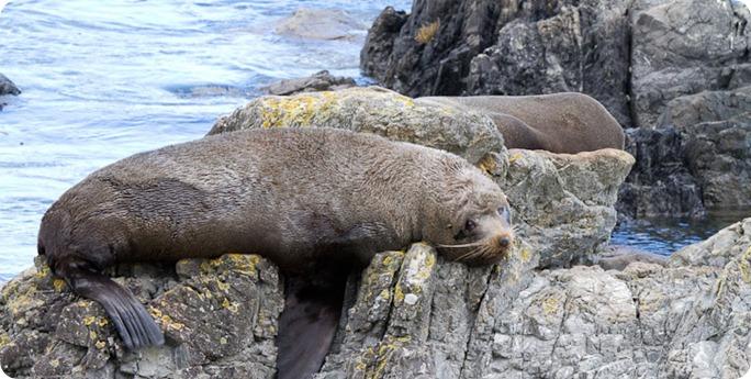 Seal Colony, Sinclair Head, Wellington, New Zealand